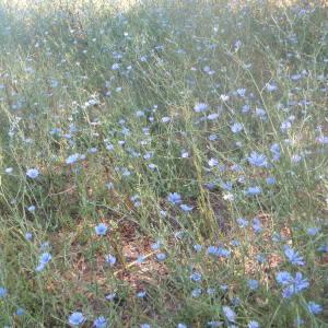 Photographie n°179492 du taxon Cichorium intybus subsp. intybus