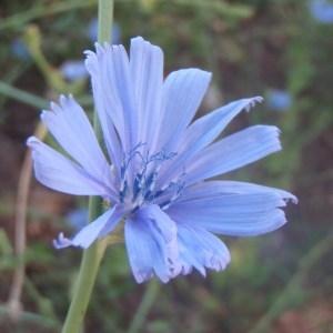 Photographie n°179493 du taxon Cichorium intybus subsp. intybus
