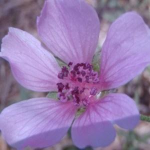 Althaea cannabina L. (Guimauve à feuilles de cannabis)