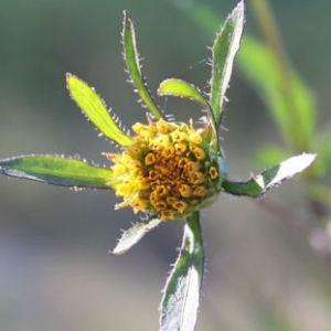 Bidens frondosa L. (Bident à fruits noirs)
