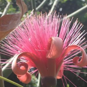 Bombax ceiba L. (Red silk cotton tree)