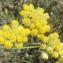 Madeleine Sarran - Helichrysum stoechas (L.) Moench [1794]