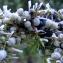 Madeleine Sarran - Juniperus communis L. [1753]