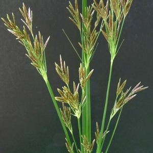 Photographie n°179983 du taxon Cyperus longus L. [1753]