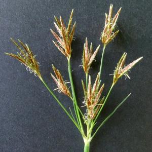 Cyperus longus L. (Souchet allongé)