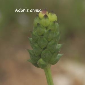 Photographie n°180072 du taxon Adonis annua L. [1753]