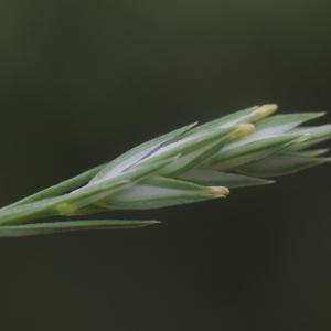 Crucianella angustifolia L. [1753] (Crucianelle à feuilles étroites)