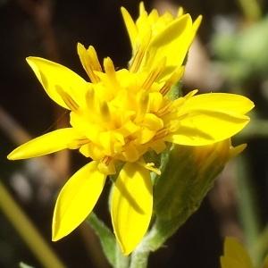 Solidago virgaurea L. subsp. virgaurea (Solidage verge-d'or)