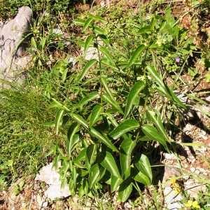 Photographie n°180293 du taxon Vincetoxicum hirundinaria subsp. hirundinaria