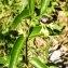 Alain Bigou - Vincetoxicum hirundinaria subsp. hirundinaria