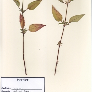 Photographie n°180424 du taxon Galeopsis tetrahit L.