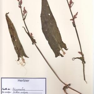 Photographie n°180432 du taxon Rumex acetosa L. [1753]