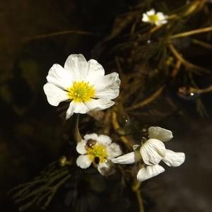 - Ranunculus fluitans Lam. [1779]