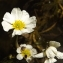 Florent Beck - Ranunculus fluitans Lam. [1779]