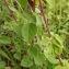 Florent Beck - Origanum vulgare L. [1753]