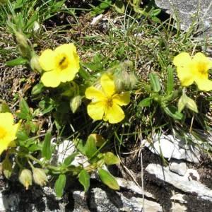 Photographie n°180754 du taxon Helianthemum grandiflorum subsp. grandiflorum