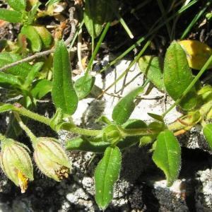 Photographie n°180755 du taxon Helianthemum grandiflorum subsp. grandiflorum