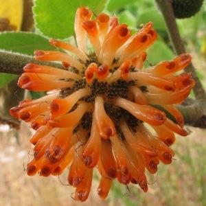 Broussonetia papyrifera (L.) Vent. (Mûrier à papier)