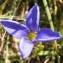 Jean-Claude Calais - Gentianella ciliata (L.) Borkh. [1796]