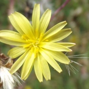 Lactuca serriola L. (Laitue sauvage)