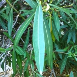 Photographie n°180933 du taxon Nerium oleander L. [1753]