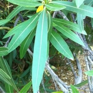 Photographie n°180934 du taxon Nerium oleander L. [1753]