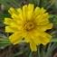 Jean-Claude Echardour - Picris hieracioides L.