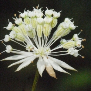 Astrantia minor L. (Petite Astrance)