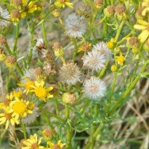 - Jacobaea vulgaris subsp. vulgaris