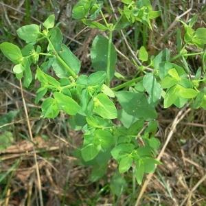 Photographie n°181061 du taxon Euphorbia peplus L. [1753]