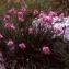 Liliane Roubaudi - Allium narcissiflorum Vill.