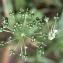 Liliane Roubaudi - Allium ursinum L. [1753]