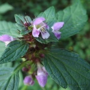 Photographie n°181147 du taxon Galeopsis tetrahit L.