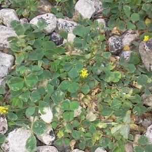 - Trifolium campestre C.C.Gmel. [1808]