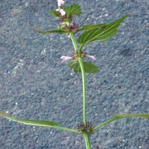 Photographie n°181251 du taxon Galeopsis tetrahit L.