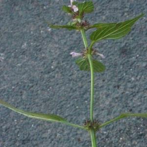 Photographie n°181252 du taxon Galeopsis tetrahit L.