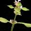 Liliane Roubaudi - Galeopsis tetrahit L.