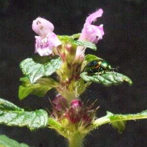 Photographie n°181262 du taxon Galeopsis tetrahit L.