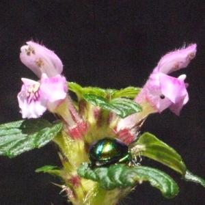 Photographie n°181263 du taxon Galeopsis tetrahit L.