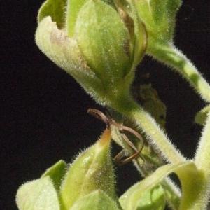Photographie n°181291 du taxon Digitalis purpurea L.