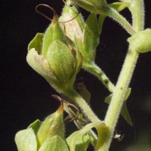 Photographie n°181292 du taxon Digitalis purpurea L.