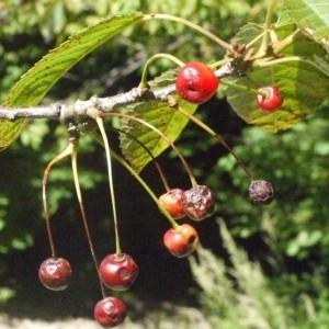 Photographie n°181328 du taxon Prunus avium (L.) L. [1755]