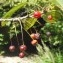 Liliane Roubaudi - Prunus avium (L.) L.