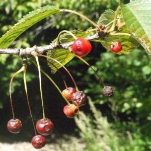 Photographie n°181329 du taxon Prunus avium (L.) L. [1755]
