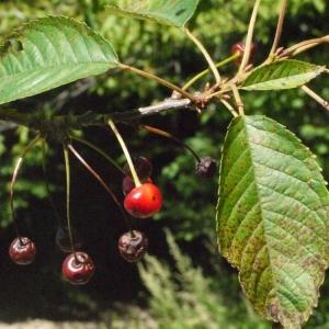 Photographie n°181330 du taxon Prunus avium (L.) L. [1755]