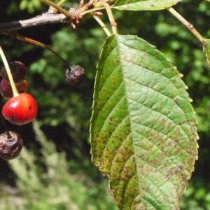 Photographie n°181331 du taxon Prunus avium (L.) L. [1755]