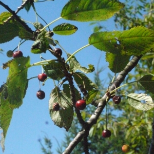 Photographie n°181333 du taxon Prunus avium (L.) L. [1755]
