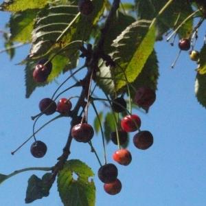 Photographie n°181334 du taxon Prunus avium (L.) L. [1755]