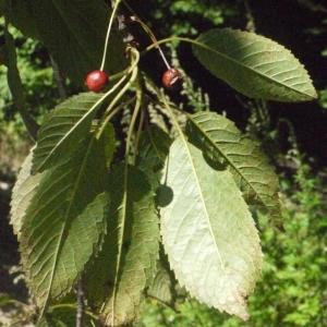 Photographie n°181335 du taxon Prunus avium (L.) L. [1755]