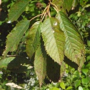 Photographie n°181336 du taxon Prunus avium (L.) L. [1755]